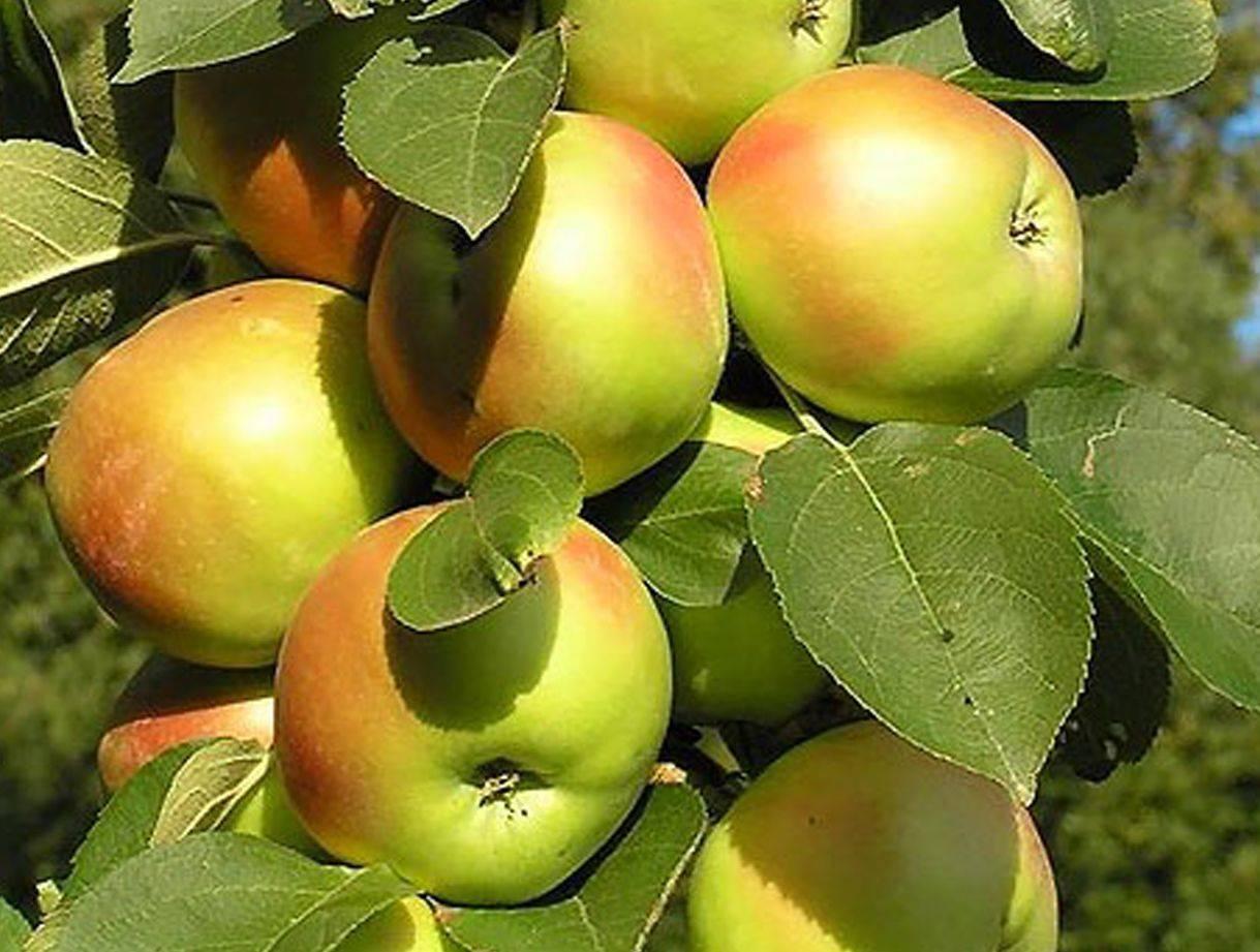 Описание сорта яблони золотое летнее: посадка, уход, болезни и вредители