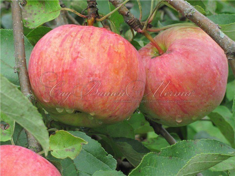 Яблоня коричное полосатое: описание сорта, фото, отзывы