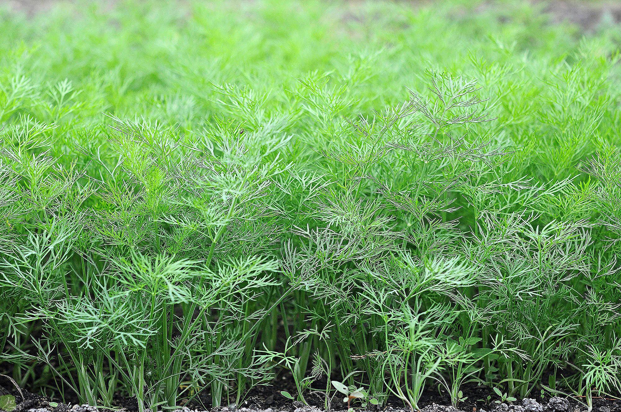 Укроп кустистый: отзывы, фото, урожайность, выращивание