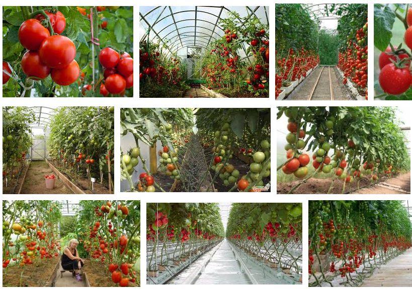 Когда сажать помидоры в парник – сеять на рассаду, как правильно посадить, выращивание и уход