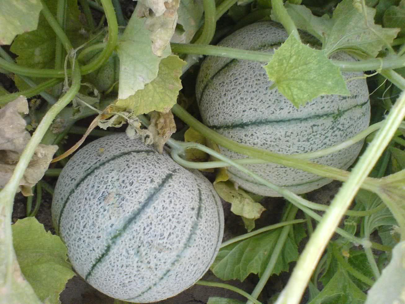 Дыня канталупа, описание сорта и особенности выращивания
