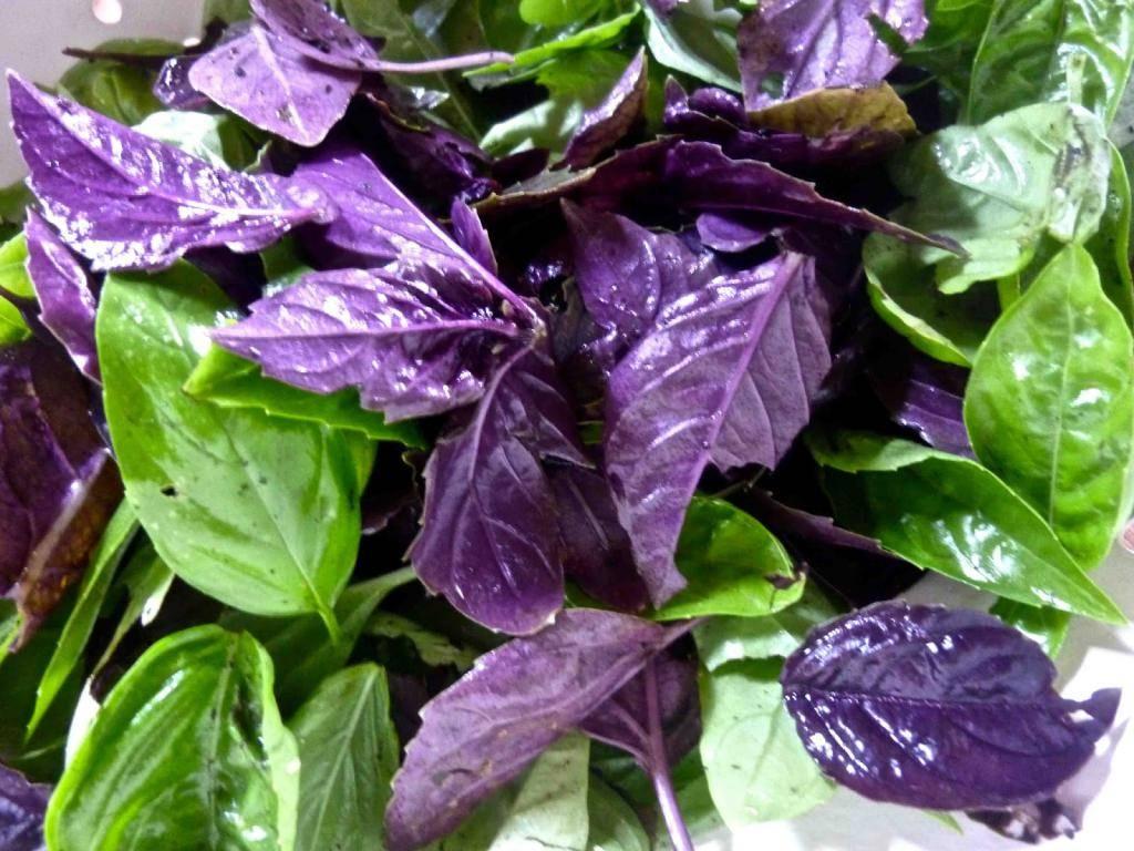Базилик фиолетовый: лучшие сорта, полезные свойства и противопоказания, применение, фото