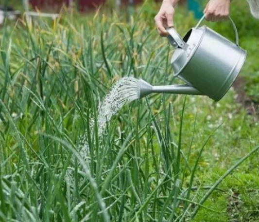 Как правильно поливать лук в открытом грунте и в теплице