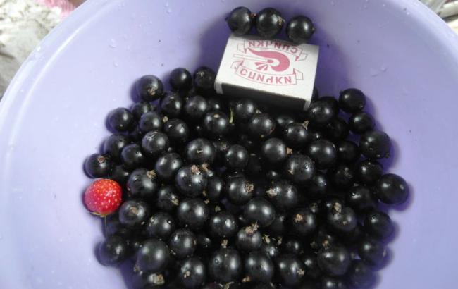 Черная смородина пигмей — описание сорта, особенности выращивания