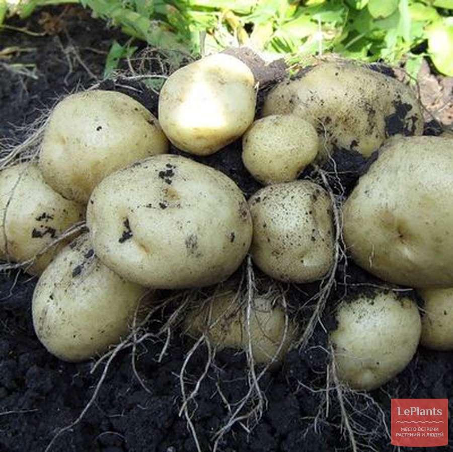 Сорт картофеля голубизна — характеристика и рекомендации по выращиванию