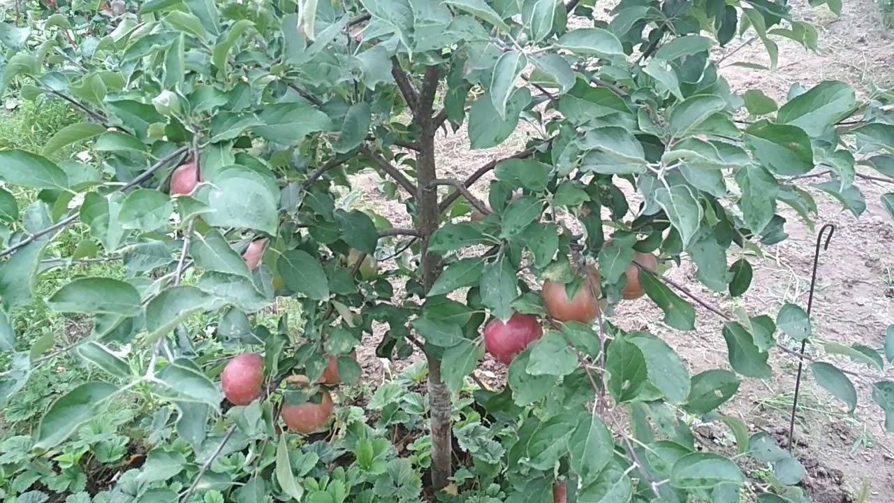 Сорт яблок коваленковское описание, фото, отзывы