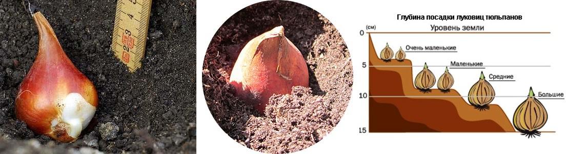 Когда можно сажать тюльпаны в открытый грунт осенью. основные правила посадки и подготовка луковиц . милая я