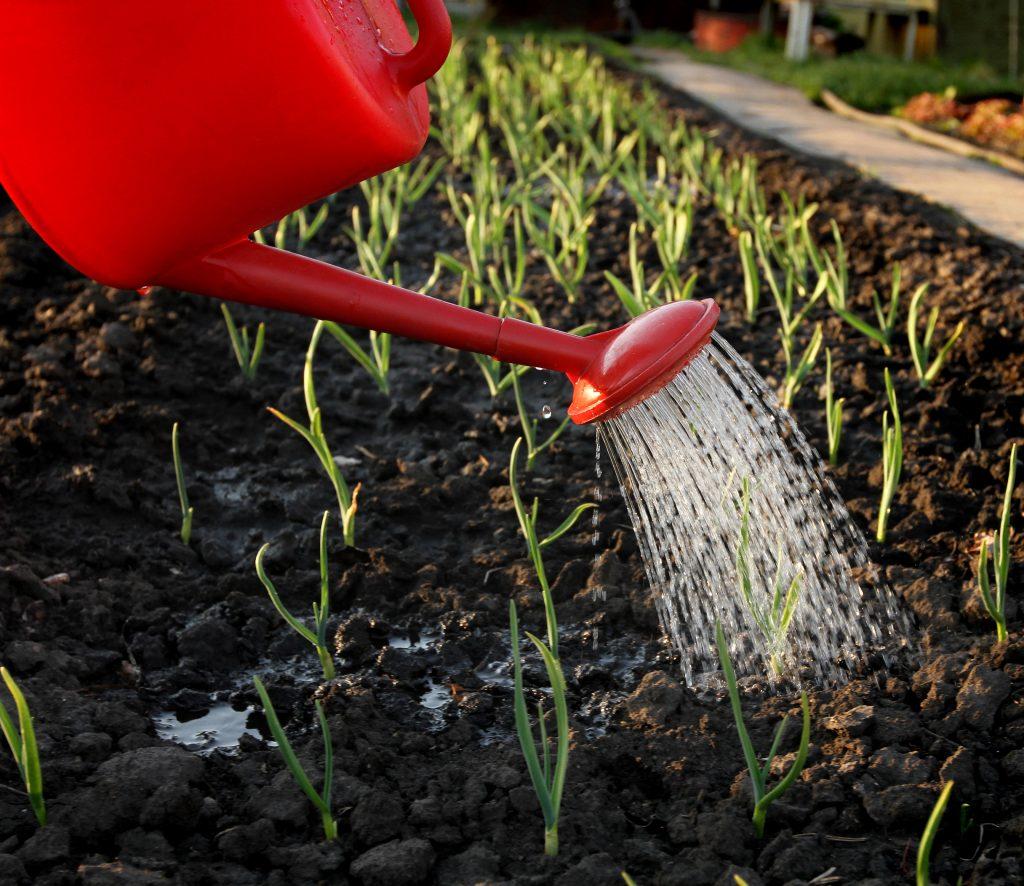 Как часто поливать чеснок в открытом грунте. нужно ли поливать чеснок. в статье рассказано, как правильно поливать чеснок, высаженный под зиму или весной