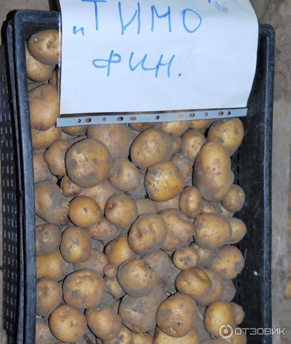 ᐉ сорт картофеля «тимо ханккиян» – описание и фото - roza-zanoza.ru