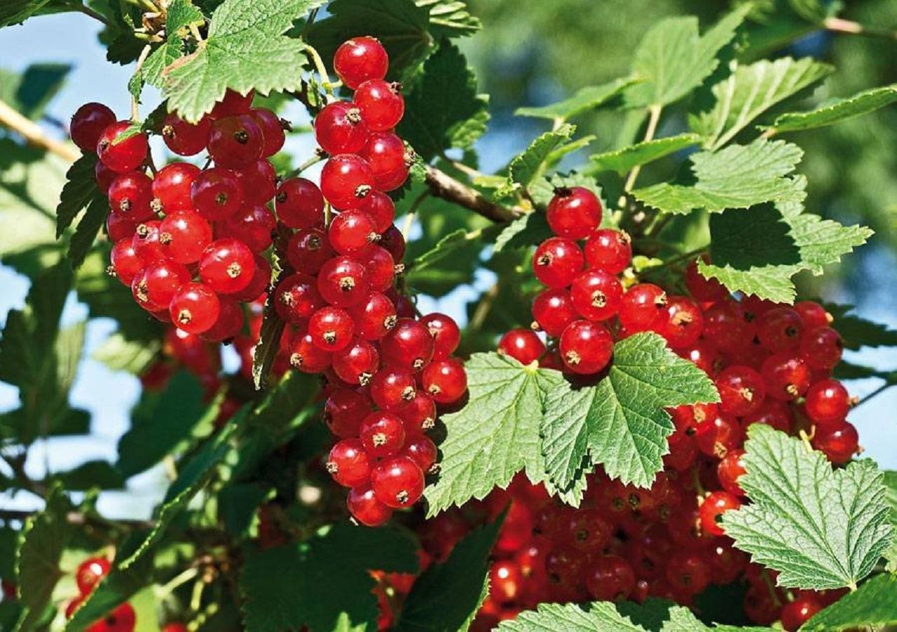 Описание розовых сортов смородины, особенности посадки и ухода