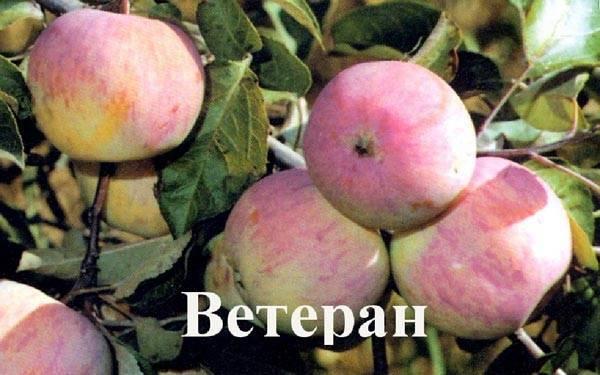 Описание и характеристики яблони сорта Ветеран, тонкости выращивания