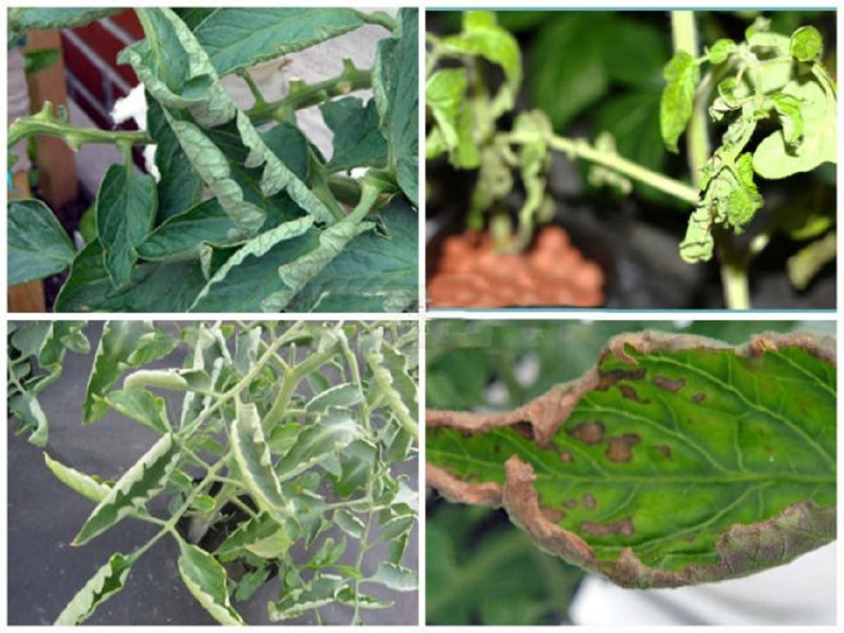 У рассады перца скручиваются листья - 6 причин; что делать, если листья сворачиваются лодочкой, внутрь, вниз, края заворачиваются вверх, закручиваются семядольные листья, если скручиваются верхние листочки