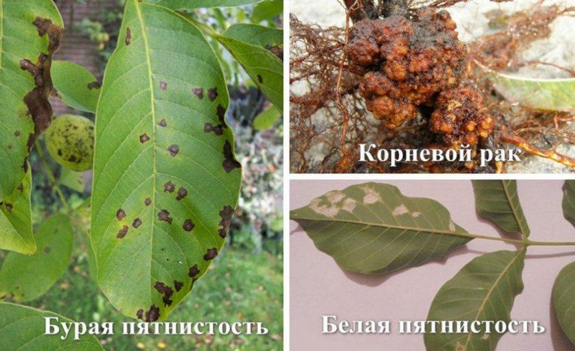 Болезни грецкого ореха: описание и способы борьбы – dachampion