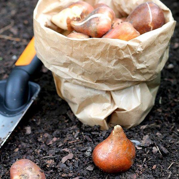 Хранение луковиц тюльпана зимой