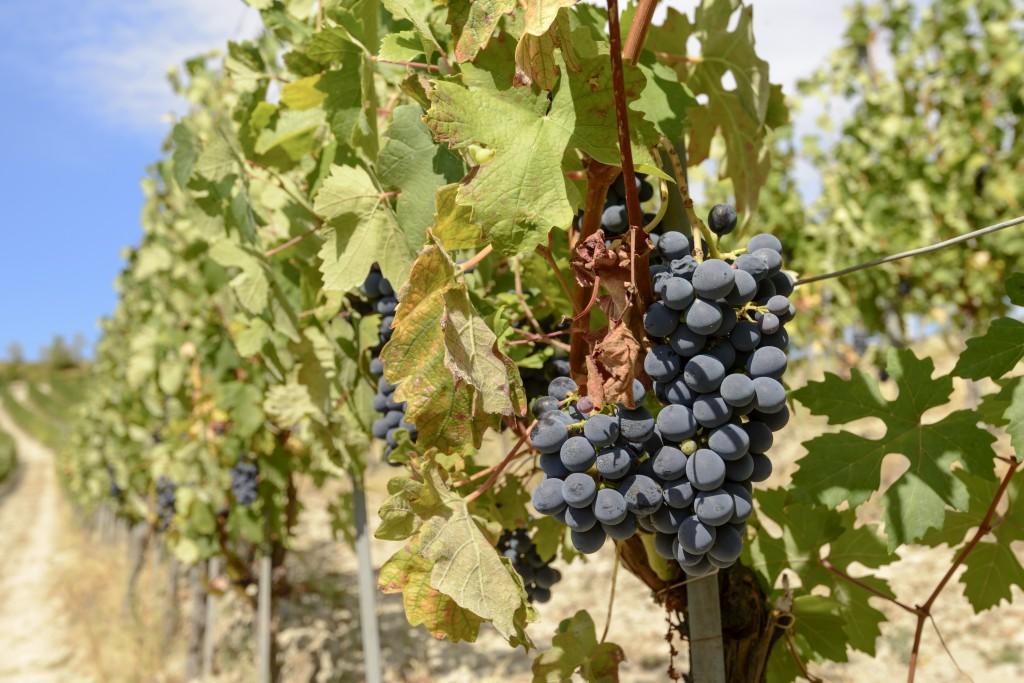 Саперави — как посадить и вырастить старейший сорт винограда