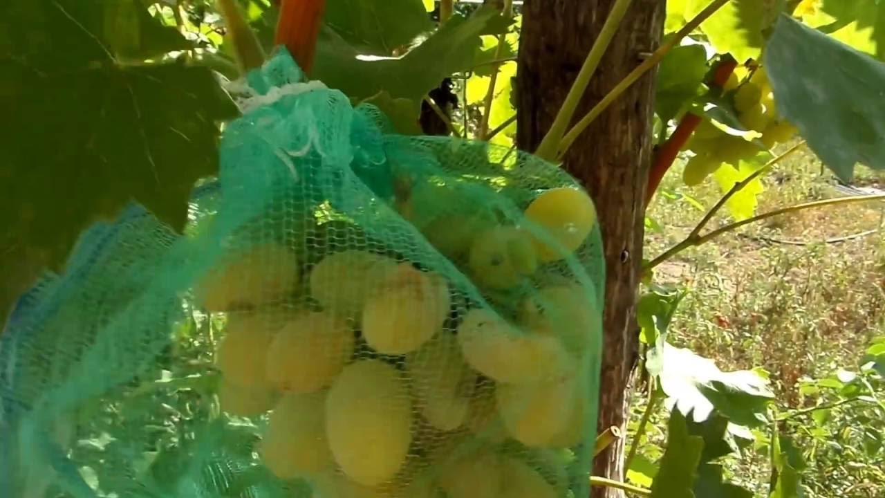 Как избавиться от ос на винограде: как с ними бороться и как спасти виноград