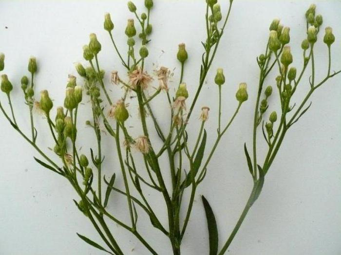 Трава заткни гузно (мелколепестник канадский): показания к применению, лечебные и полезные свойства травы