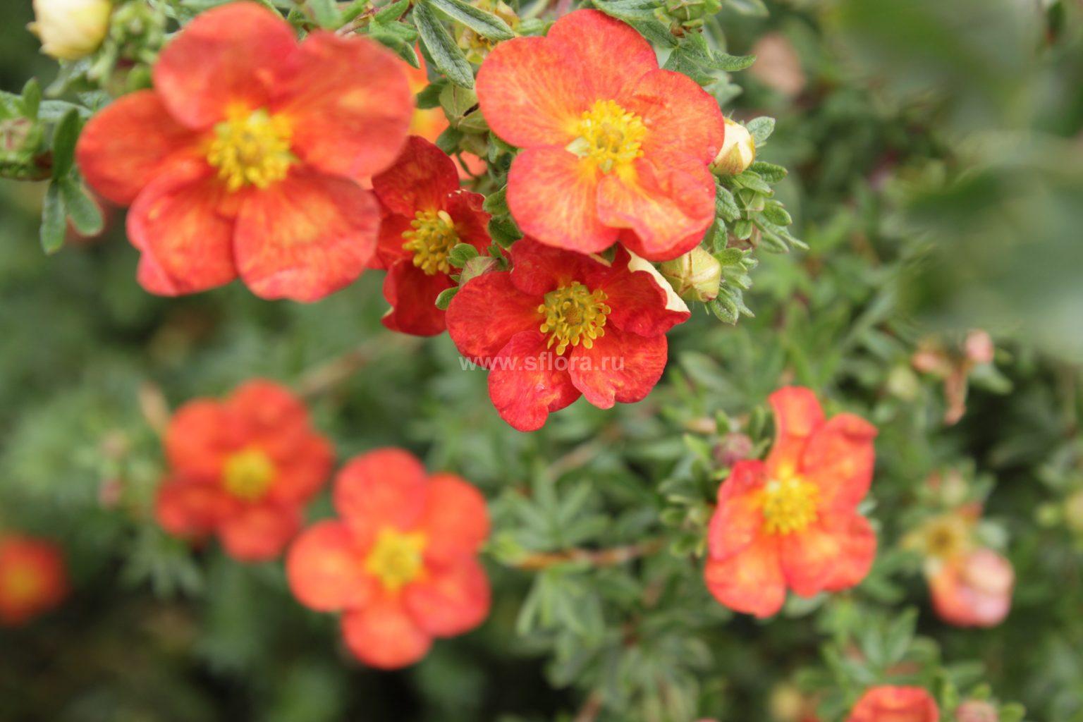Лапчатка кустарниковая: нюансы выращивания лапчатка кустарниковая: нюансы выращивания