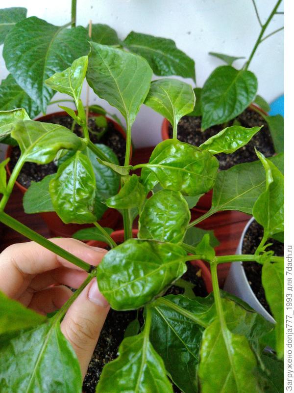 Почему у перца скручиваются листья вверх и вниз: что делать, причины скручивания листочков
