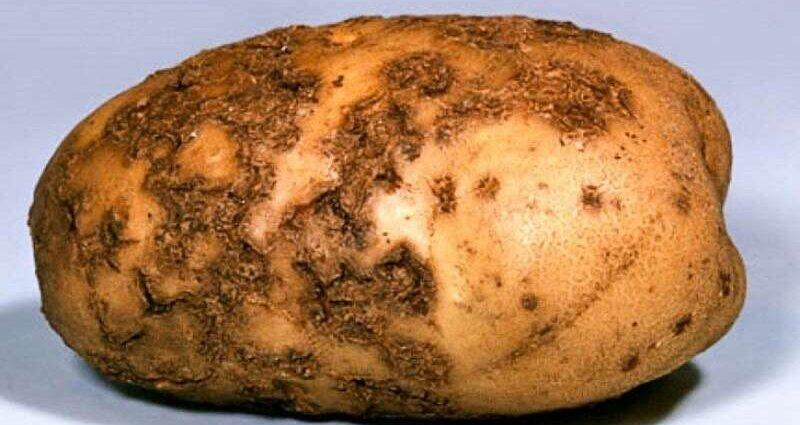Парша картофеля (ризоктониоз): описание и лечение, как бороться