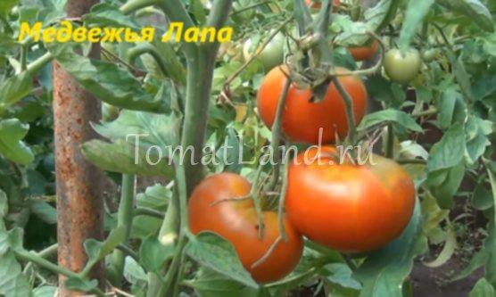 Описание сорта томата медвежья лапа, особенности выращивания и ухода