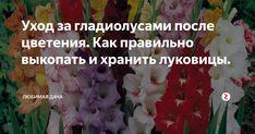 Гладиолус: как защитить от болезней и вредителей на supersadovnik.ru