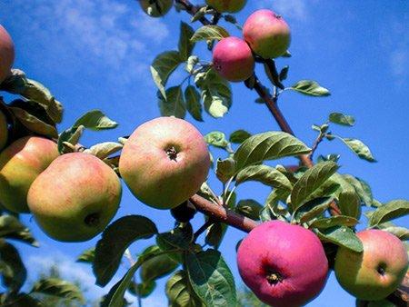 Описание сорта яблони красавица сада: фото яблок, важные характеристики, урожайность с дерева