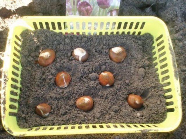 Как посадить тюльпаны в специальной корзинке. как правильно использовать корзины для посадки луковичных?