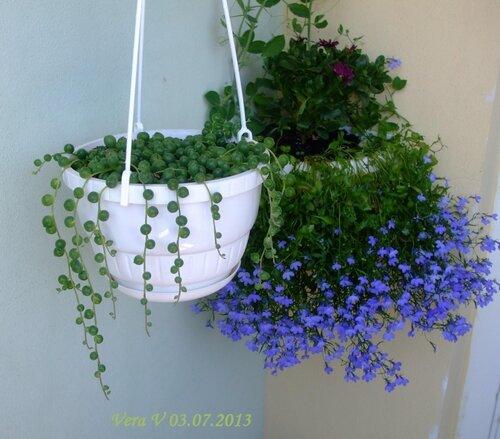 Лобелия: выращивание из семян когда сажать на рассаду в домашних условиях сорта с фото видео