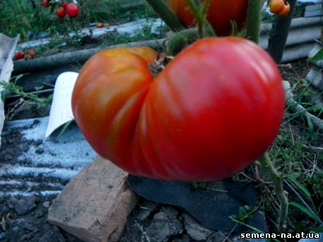 Томат гигант: отзывы, фото, урожайность, описание и характеристика   tomatland.ru