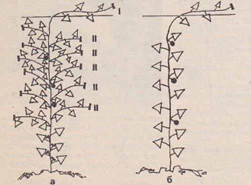 Выращивание арбузов в теплице: выбор сорта, посадка и уход