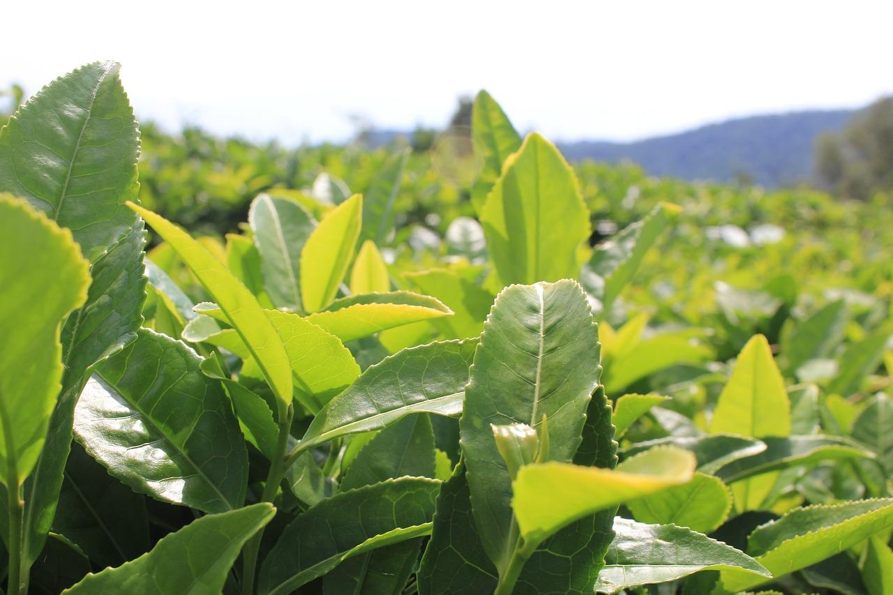 Камелия китайская (17 фото): описание и выращивание из семян «чайного куста» в домашних условиях