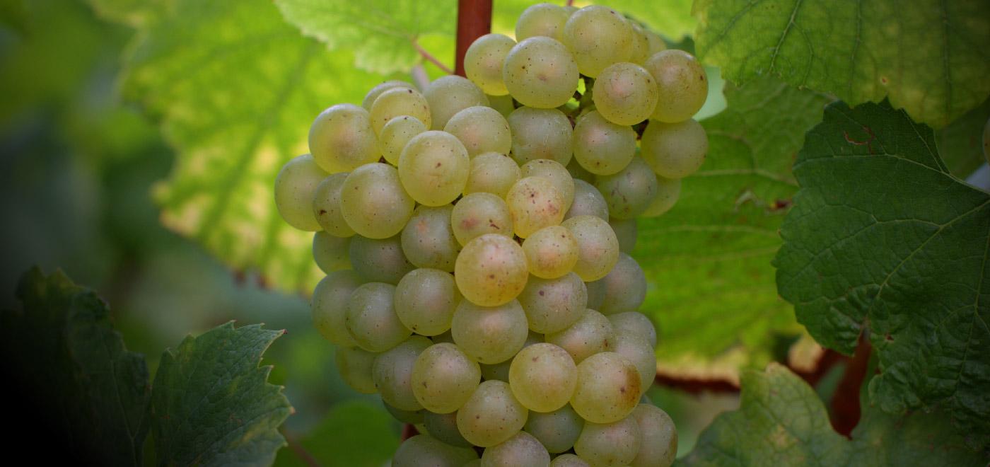 Описание и особенности винограда сорта пино нуар, история и правила агротехники