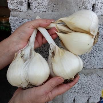 Лук анзур: что это за овощ, его сорта, характеристика и ботаническое описание с фото, польза и вред горной зелени, а также способы выращивания и размножения