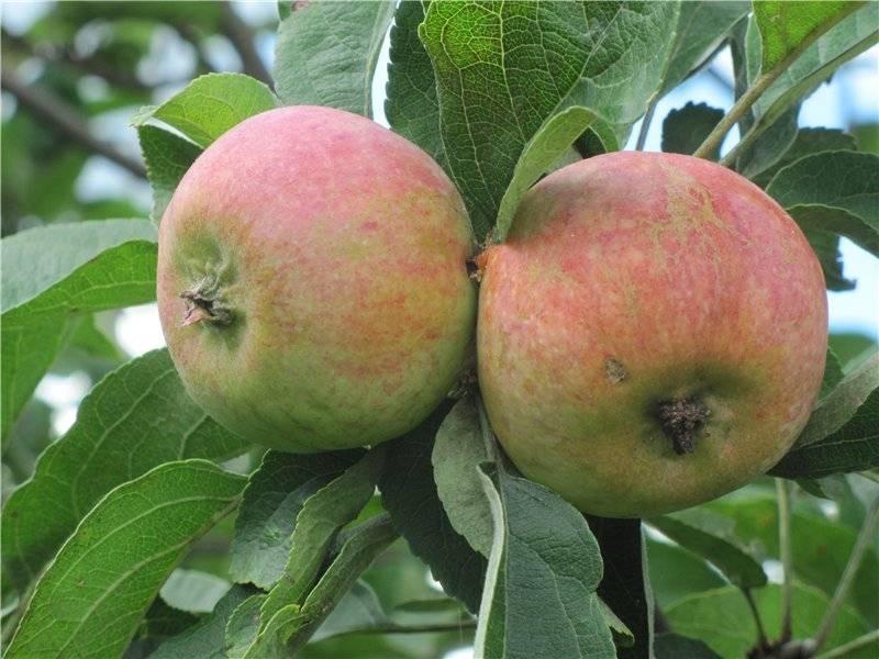 Яблоня коробовка: фото и описание сорта, отзывы садоводов