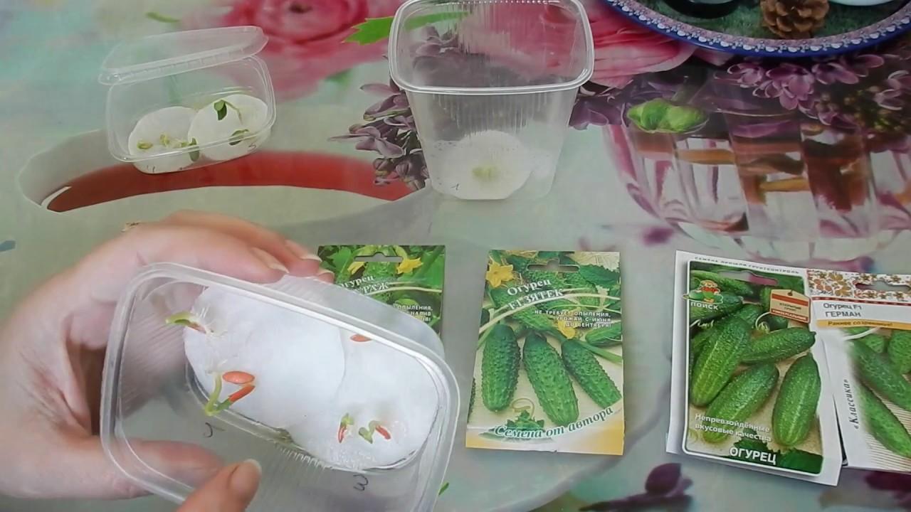 Проращивание семян огурцов перед посадкой: пошаговая инструкция
