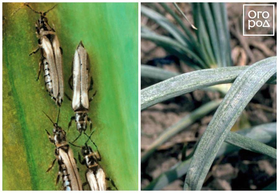 Вредители и болезни лука и чеснока: особенности борьбы | cельхозпортал