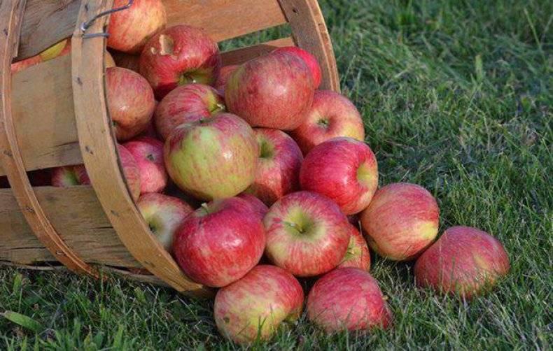 Яблоня штрейфлинг - описание сорта, фото, как выращивать