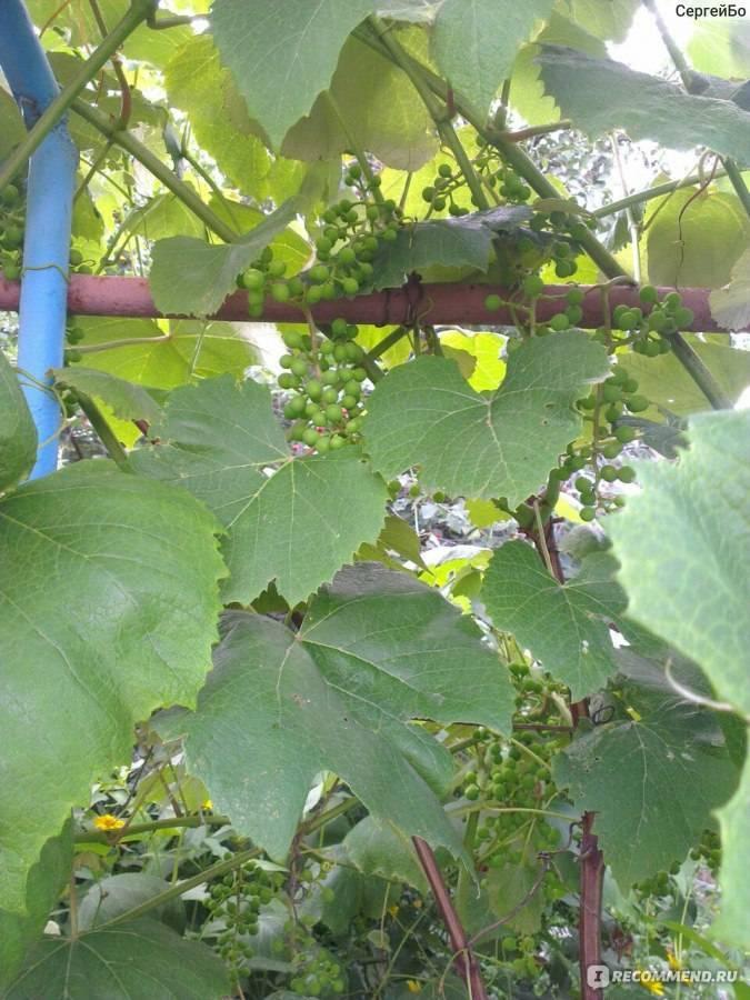 Описание и характеристика винограда сорта Мерло, посадка и уход