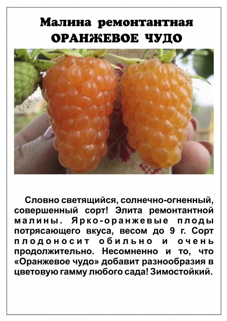 «оранжевое чудо» − желтоплодная и высокоурожайная малина