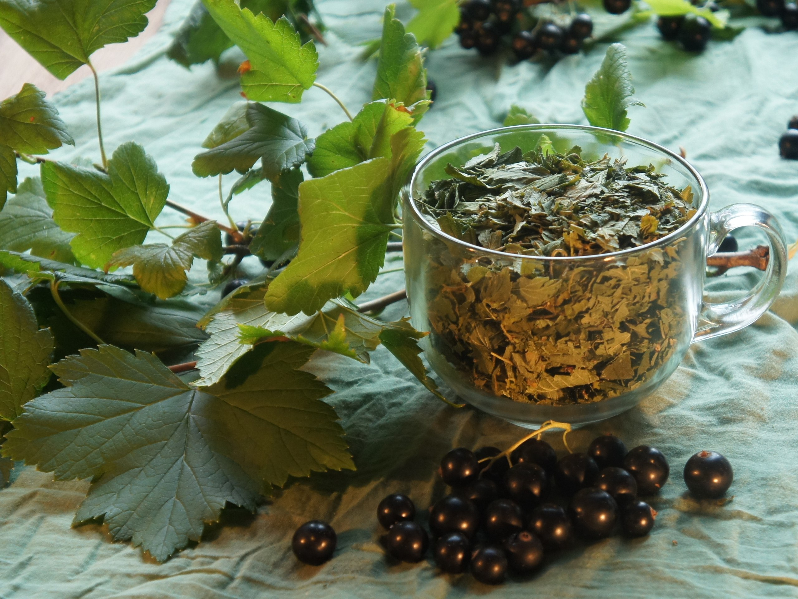 Листья смородины – полезные свойства и противопоказания; польза и вред