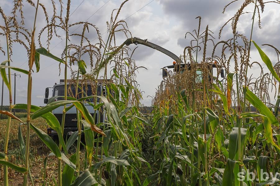 Технология возделывания кукурузы на силос и зеленый корм