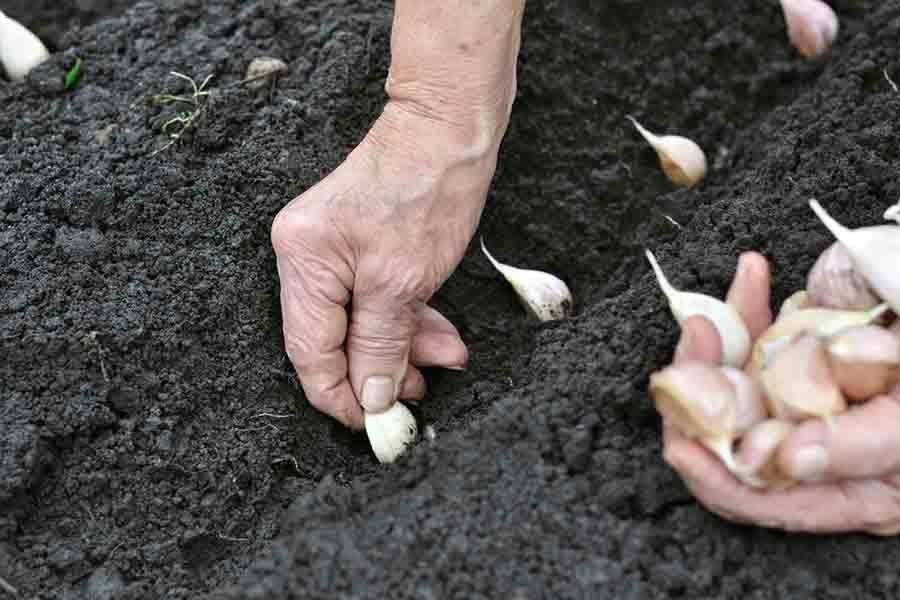 Как и когда сеять кориандр под зиму: рекомендации по выращиванию на зелень и семена в открытом грунте | садоводство и огородничество