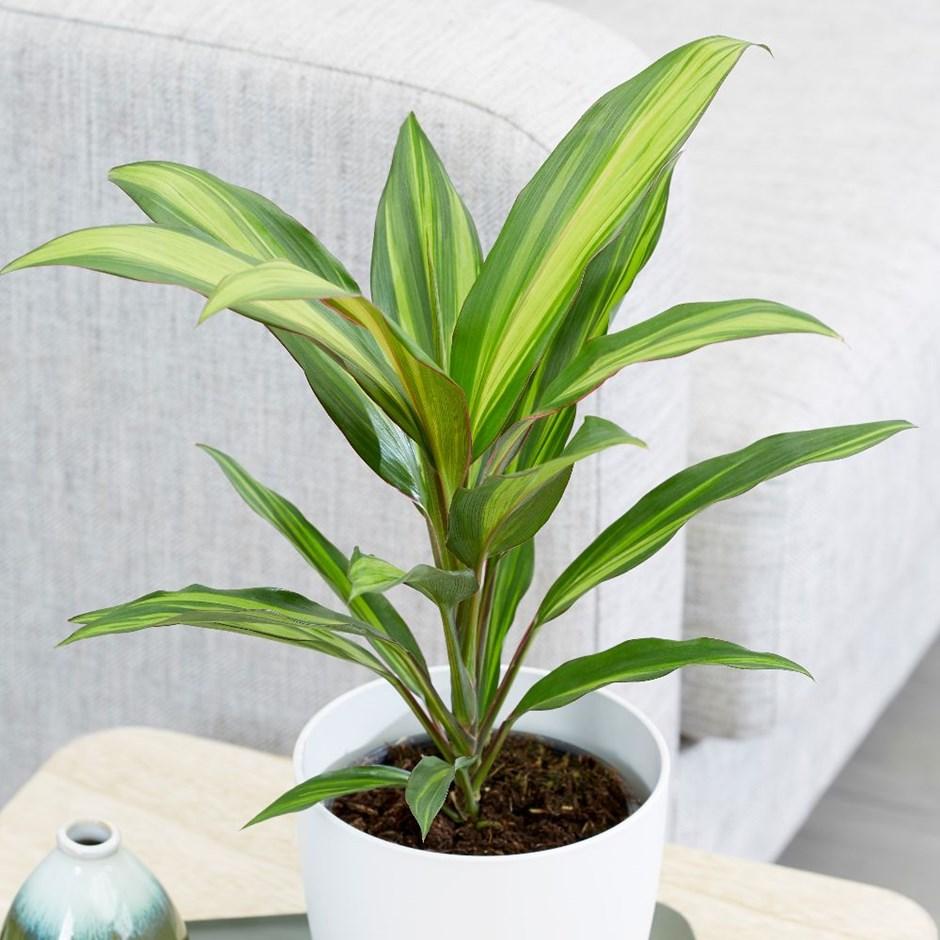 Кордилина фото, уход в домашних условиях, размножение комнатного растения, пересадка