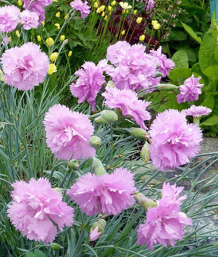 Гвоздика — уход в домашних условиях, размножение, цветение
