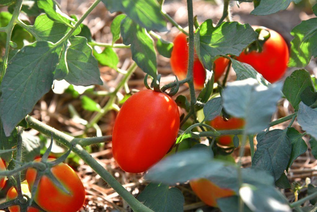 Томат королевская красота: характеристика и описание сорта, урожайность с фото