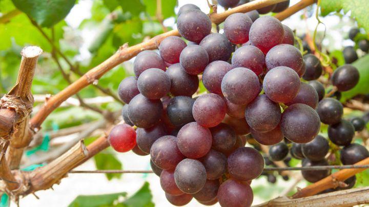 Красивый виноград с долгим сроком хранения — «тайфи»