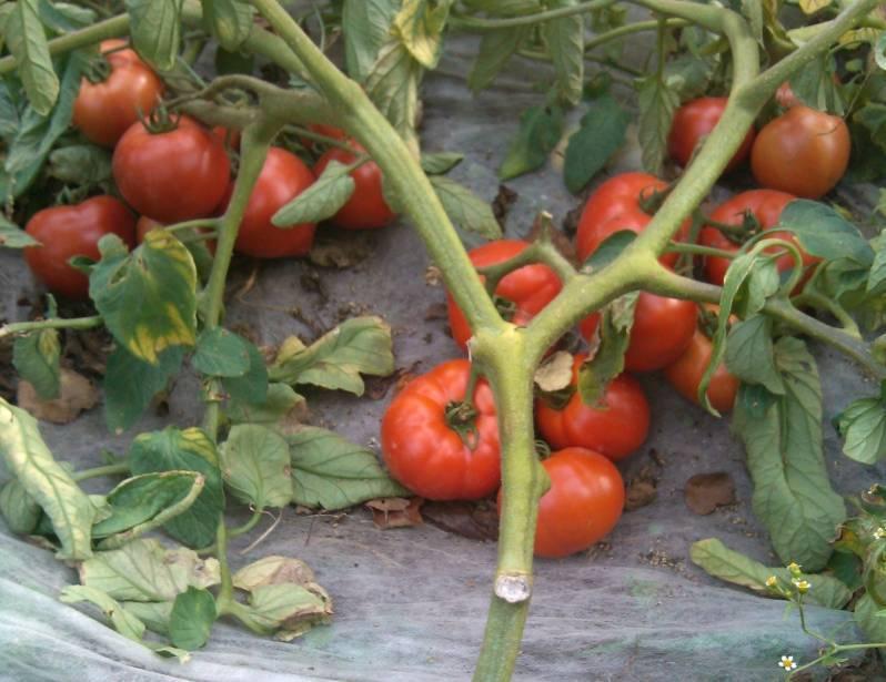 Томат полбиг (f1): характеристика и описание гибрида, фото кустов и помидоров, отзывы об урожайности от тех, кто их выращивал, нюансы ухода