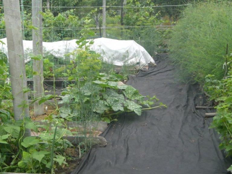 Выращивание огурцов под пленкой - подготовка и посадка в открытый грунт (125 фото)