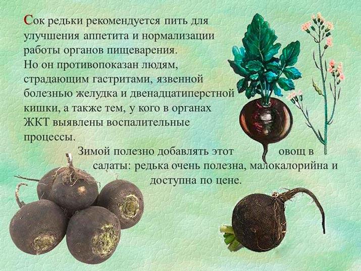 Польза и вред зеленой (маргеланской) редьки, свойства, рецепты с фото